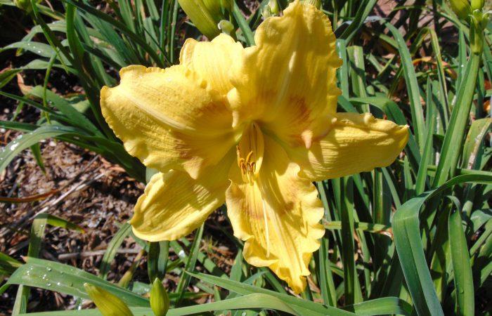 Hanahan Daylily Garden